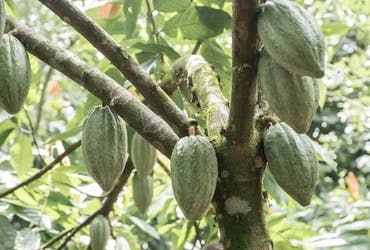 In this tour you will have the opportunity to learn interesting aspects of cocoa and chocolate.